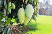 stock photo of mango  - Mango on mango tree  - JPG
