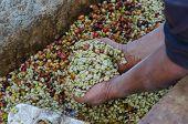 pic of coffee crop  - coffee farmer is showing arabica coffee berries in hands  - JPG