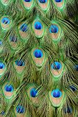 foto of indian peafowl  - beautful feather of Indian peafowl (Pavo cristatus)
