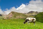 Cow Grazing On A Green Meadow On Background Of  Hight Mountains