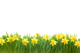 picture of daffodils  - spring narcissus flowers in green grass isolated on white background - JPG