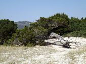 picture of juniper-tree  - A tree of juniper curved by the wind typical of the spontaneous vegetation of Sardinia - JPG