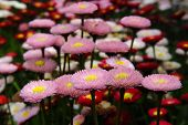 stock photo of feverfew  - chrysanthemum flower blossom flowers mum feverfew blossoming beautiful garden - JPG