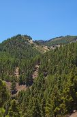 foto of pinus  - Gran Canaria inland endemic pine Pinus canariensis grows on mountainsides - JPG