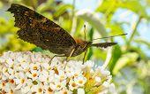 pic of butterfly-bush  - A beautiful Peacock butterfly feeding on a Buddleja bush flower - JPG