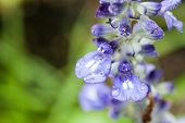 pic of blue-salvia  - Closeup petal of blue salvia with water drop.