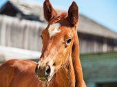 stock photo of foal  - portrait of little chestnut foal - JPG