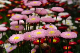 stock photo of feverfew  - chrysanthemum flower blossom flowers mum feverfew blossoming beautiful garden - JPG