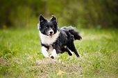 pic of toy dogs  - Young border collie dog running in the summer - JPG