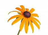 picture of black-eyed susans  - Single compound yellow and black flower of a brown - JPG