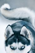 picture of sled dog  - Siberian Husky dog in winter Sled - JPG