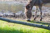 foto of wild donkey  - Gray donkey eats grass - JPG