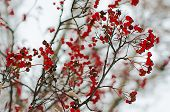 foto of rowan berry  - Clusters of red rowan berry under the snow, seasonal holiday natural background