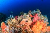 foto of coral reefs  - Vividly colored soft corals on a thriving healthy tropical coral reef - JPG