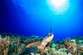 stock photo of green turtle  - Green Turtle raising its fin towards the sun in deep water - JPG