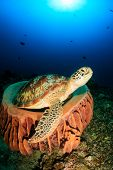 picture of green turtle  - Green Turtle in a sponge with sunbeams behind - JPG
