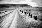 stock photo of iceland farm  - A herd of Icelandic ponies moving along gravel road in Iceland countryside - JPG