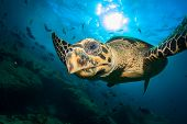 image of hawksbill turtle  - Hawksbill Sea Turtle - JPG