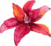 foto of lily  - Red lily flower drawing by watercolor - JPG