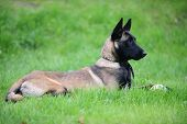picture of belgian shepherd  - dog belgian malinois lies on green grass - JPG