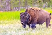 pic of wander  - Adult Bison wanders inside Yellowstone National Park - JPG