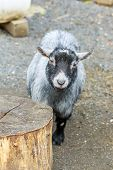 stock photo of pygmy goat  - Grey pygmy goat interacts with visitors in the petting zoo - JPG