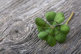 foto of four  - Four leaf clover on grey wooden background - JPG
