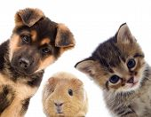 foto of puppy kitten  - Puppy and kitten and guinea pig on a white background - JPG