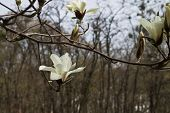 image of magnolia  - blooming white magnolia flowers in spring garden closeup - JPG