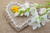 picture of angiosperms  - White flowers Campanula lie on the heart of coarse cloth - JPG