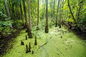 stock photo of bayou  - Lush green swamp and tropical forest scene - JPG
