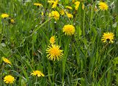 foto of meadows  - Meadow with yellow dandelions - JPG