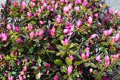 foto of azalea  - Dark pink azalea flowers closeup full frame - JPG
