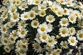 image of daisy flower  - Yellow Oxe - JPG