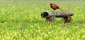 picture of pheasant  - Pheasant (walking bird) in a green field
