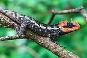 image of lizards  - Green crested lizard - JPG