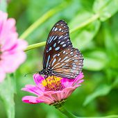 stock photo of blue butterfly  - Close up of Dark Blue Tiger  - JPG