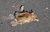 picture of mammal  - Dead Animal Mammal on the Asphalt Road - JPG