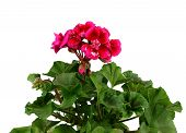 stock photo of geranium  - Red geranium flower in a clay pot isolated on white background - JPG