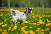 picture of baby goat  - white and black goat kid outdoors in summer - JPG