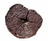 stock photo of cross-section  - Cross section of tree trunk on white with clipping path - JPG