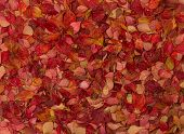 stock photo of barberry  - Autumn carpet of bright leaves and rain drops - JPG