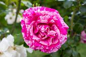 pic of climbing roses  - Close - JPG