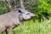 pic of lowlands  - Lowland tapir  - JPG