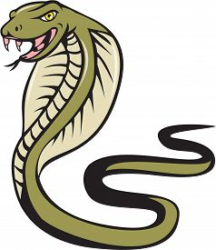 picture of serpent  - Illustration of a cobra viper snake serpent with tongue out attacking viewed from the side set on isolated white background done in cartoon style - JPG