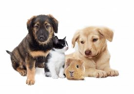 stock photo of pig  - kitten and puppy and guinea pig on a white background - JPG