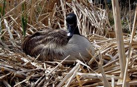 picture of honkers  - nesting canada goose - JPG