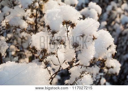 Dry Wildflowers Under Snow