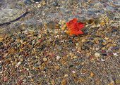 picture of canada maple leaf  - red maple leaf in transparent water of osa lake - JPG