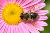picture of honey-bee  - Bee in the flower